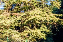 Yellow Pollen Of Cedars Give Red-eyes to Shimla Residents
