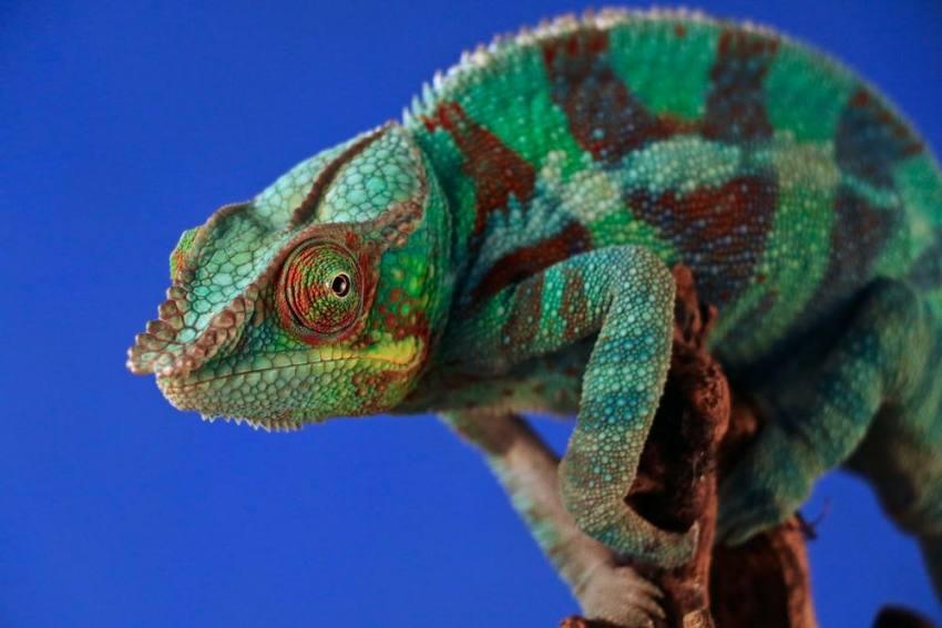 Scientists Find Elusive Chameleon Species In Madagascar