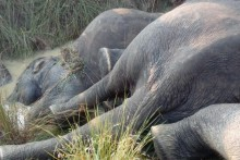 Elephant Dies of Electrocution In North Bengal