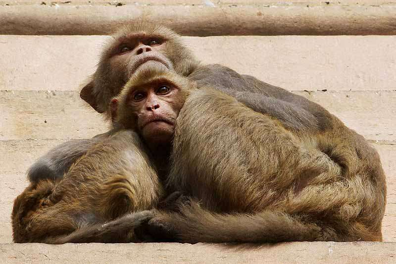 Over 30 Monkeys Poisoned To Death In Telangana, Found Stuffed In Gunny Bags