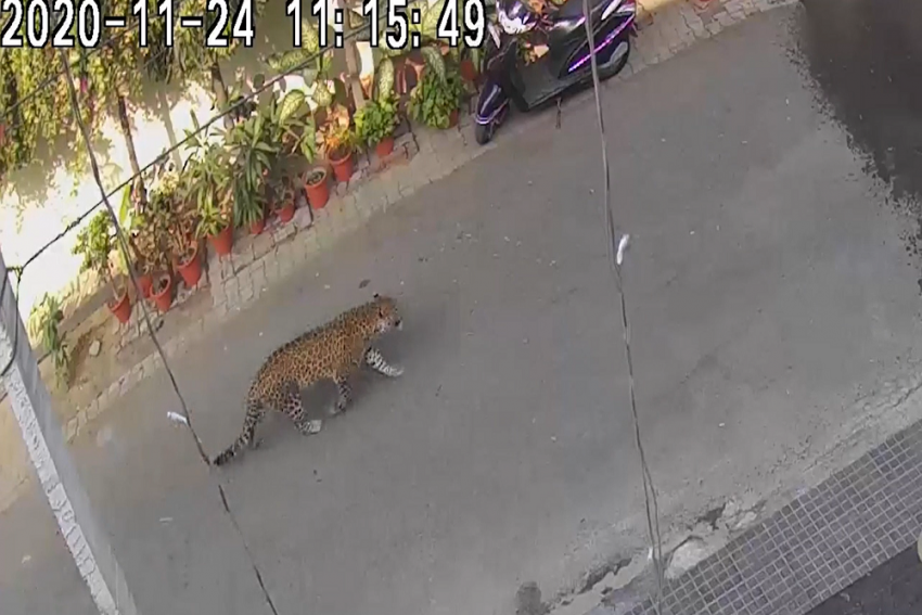Watch: Leopard Creates Panic In Ghaziabad, Video Goes Viral