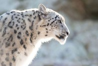 In A First, Three Snow Leopards Test Positive For Covid-19