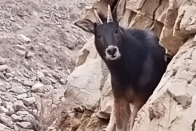 Rare Himalayan Antelope Spotted In Spiti