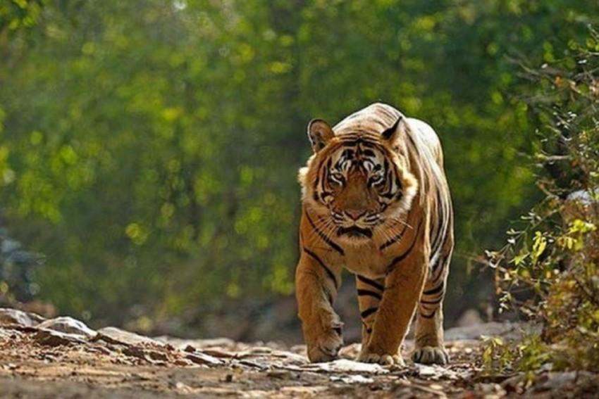 After Anand Mahindra Shared Video Of Tiger Stalking Elephant, Kiran Mazumdar Posts This