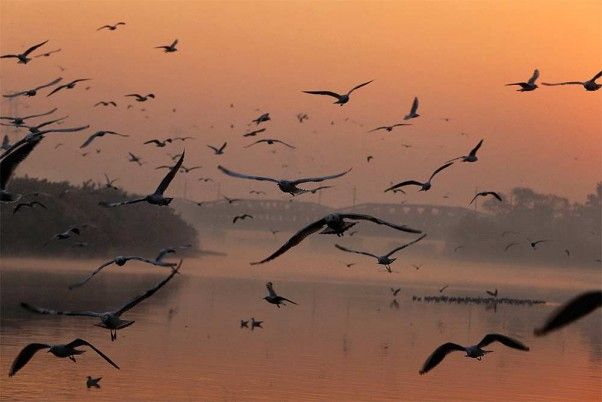 How Did 400 Winged Guests Die At Pong Dam In Himachal? Probe On