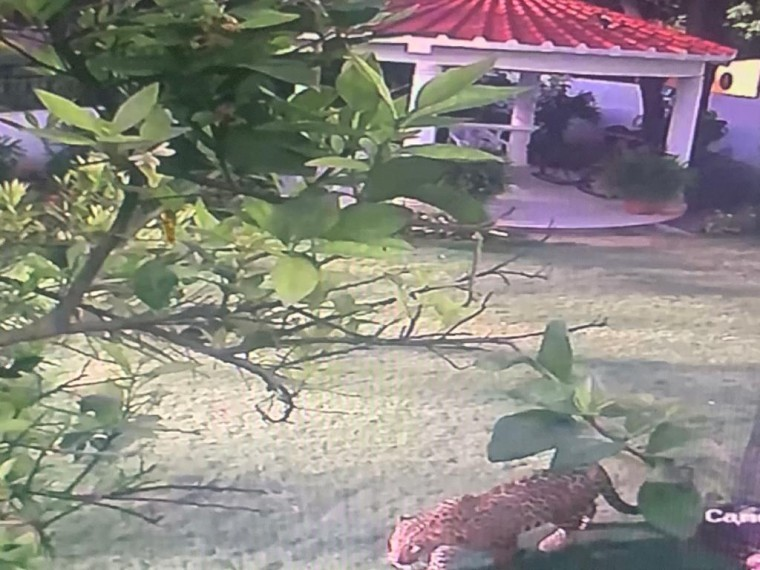 Leopard Spotted In Chandigarh's Residential Area Amid Coronavirus Lockdown