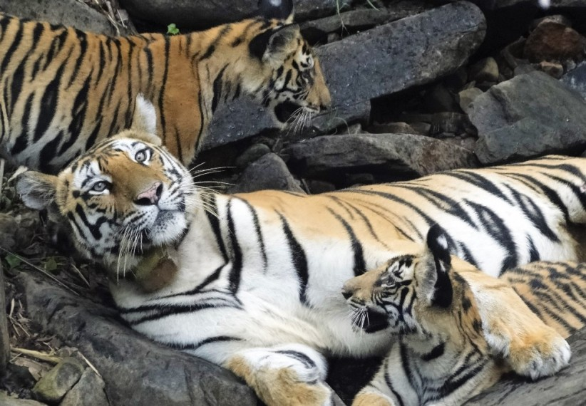 River Linking Project Threatens Decade-Long Success Story Of Panna Tiger Reserve