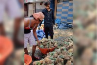Truckloads Of Pineapples Rot Outside Many States As Demand Nosedives During Coronavirus Lockdown