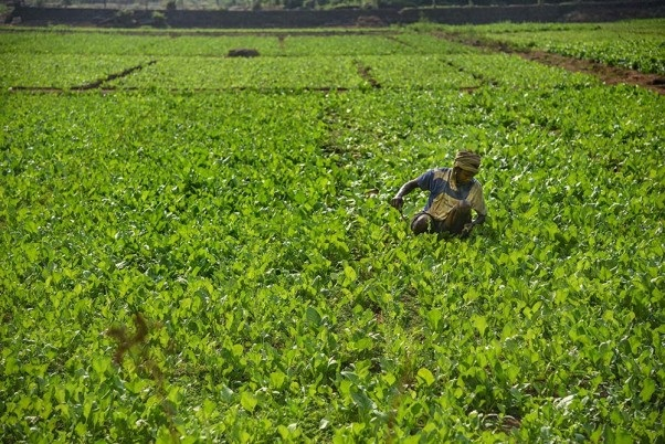 COVID-19: Farmer Razes 1-Acre Cabbage Crop As Prices Tank Amid Lockdown