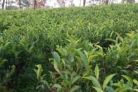 Darjeeling First-Flush Tea Faces Lockdown Heat, Loss Estimated At Around Rs 150 Crore
