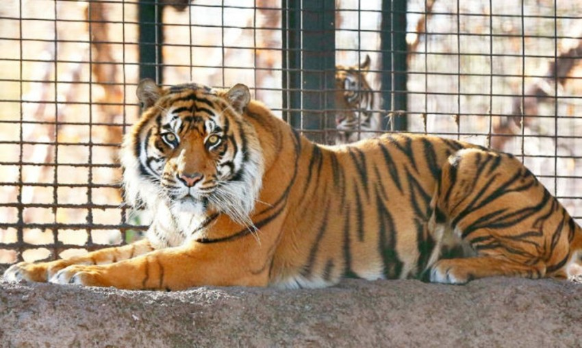 In a First, Tiger At New York's Bronx Zoo Tests Positive For Coronavirus