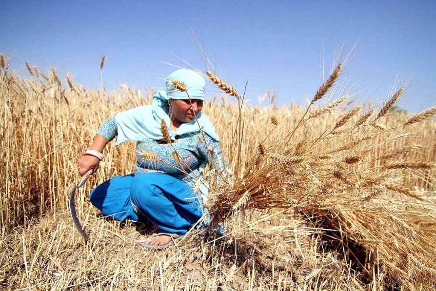 Coronavirus Threat & Shortage Of Migrants Pose Challenge to Farmers In Punjab, Haryana