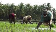 Tamil Nadu Farmers Wear Masks, Practice Social Distancing In Rice Fields