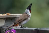 Baptism By Bulbul: The Joy Of The Novice Bird Lover Spilleth Over