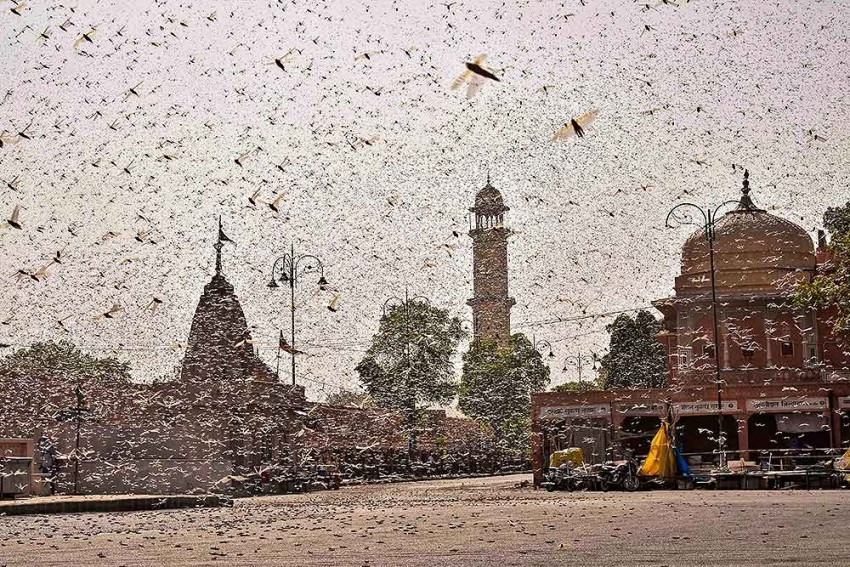 Locust Threat: How Centre And States Battling The Insect Attack