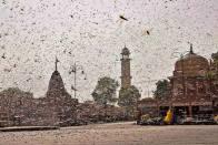 'Destroy Eggs, Spray Neem Oil': Maha University Suggests Ways To Tackle Locust Menace
