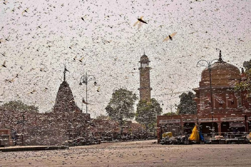 'Destroy Eggs, Spray Neem Oil': Maha University Suggests Ways To Tackle Locust Menace