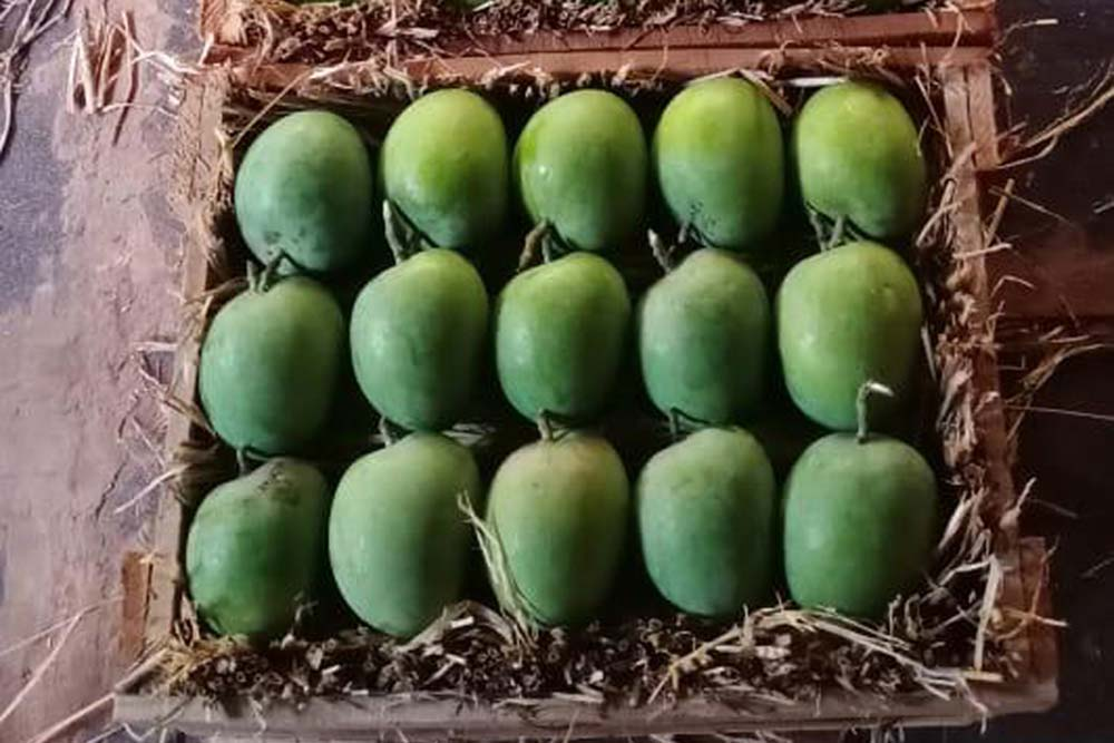 COVIDED! Tears For Mango Growers, Alphonso Hardest Hit By Weather, Low Online Sales