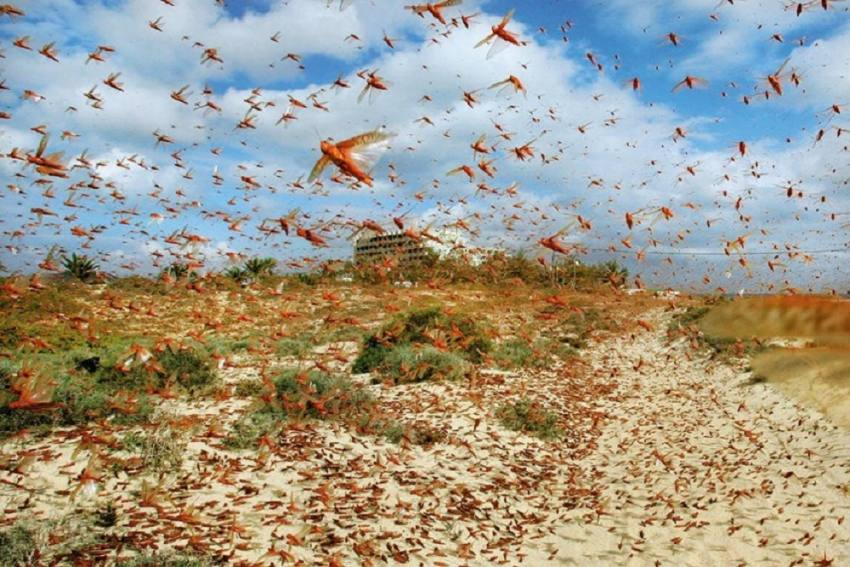 Locust Attack: This Was Just Residue, Worst Is Yet To Come, Say Govt Authorities