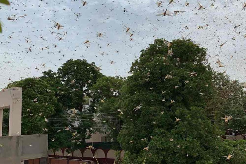 Locusts A Potential Threat To Safe Flying, Can Even Cause Plane Crash: Experts