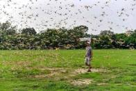 Swarm Of Locust Reaches Kasganj, Agra; Gives Delhi A Miss For Now