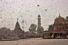 Locust Attack: Why Doesn't Govt Use 'Most Potent Weapon', Helicopters, To Spray Chemicals?
