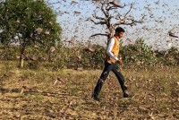 In Pics: Locust Attack In Rajasthan
