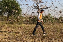 In Pics: Locust Attack In Rajasthan