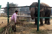 India Is No Country For Elephants, Either In The Wild Or Capitivity