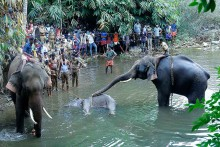 India No Country For Elephants, Either In The Wild Or In Capitivity