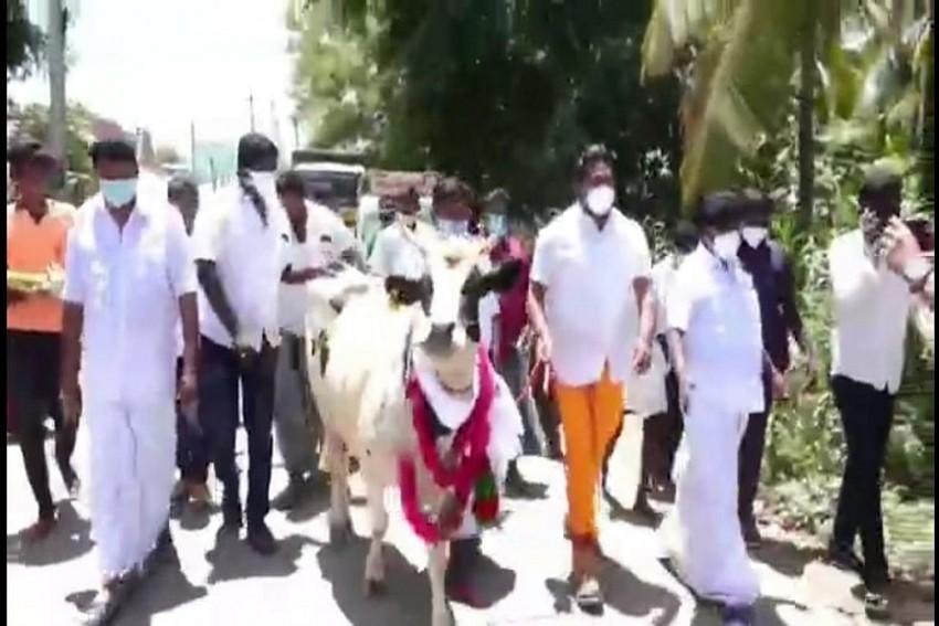 Bovine Love: Corona Separates Temple Bull From Cow, Tamil Nadu Dy CM's Son Reunites Them