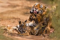 India's Tiger Guinness Record: Head Count Up In Shrinking Habitat