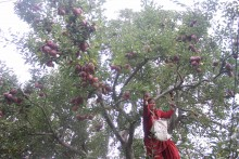 After Coronavirus-induced Labour Shortage, Himachal's Apple Growers Now Face Fungus Attack