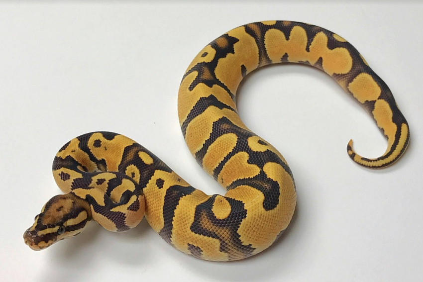 62-Year-Old Python Lays 7 Eggs Without Male Help At St. Louis Zoo