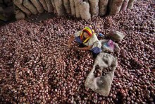 Fearing Shortfall In Domestic Supply, Govt Bans Onion Exports