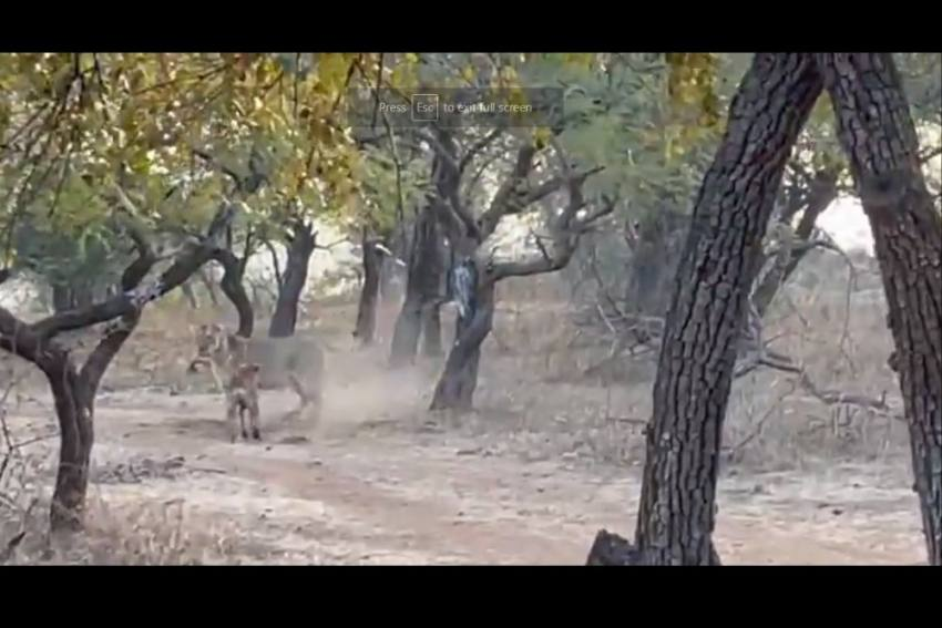 Fearless Dog Forces Lioness To Retreat, Dare Or Scare?