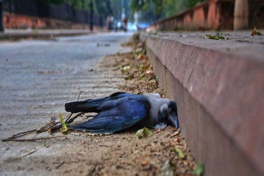 Bird Flu: Deaths Of Crows, Mynas, Herons In Jharkhand Trigger Outbreak Concern