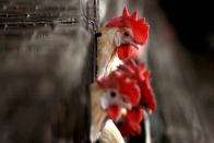 Avian Influenza Not Detected In Poultry Birds In Delhi: Animal Husbandry Department