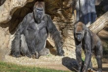 In A First, 2 Gorillas Test Positive For Covid In US Zoo