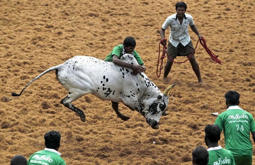 Watch: Bull-Taming Event Jallikattu Starts Today Amid Covid-19 Restrictions