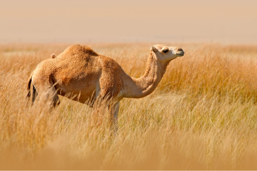 Zoo Employee Lands In Hospital After Camel Nips His Face