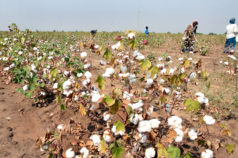 State-Owned CCI Force Pvt Traders To Pay Higher Prices To Cotton Farmers?