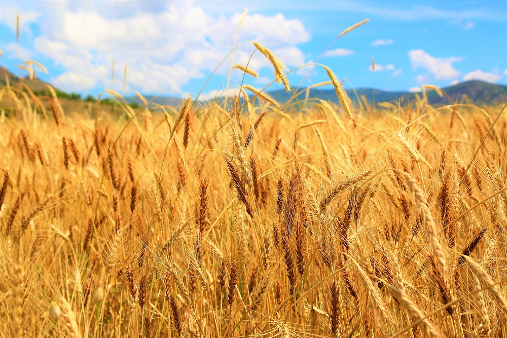 Indian Prof Working On Wheat Variety To Hike Yields, Save Against Quality Loss