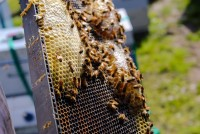 A Bee Story, And Why It Matters