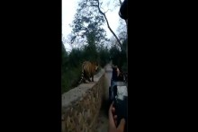 Watch: Tiger Leaps Over Wall As Tourists Come Close To Click Picture; Video Goes Viral