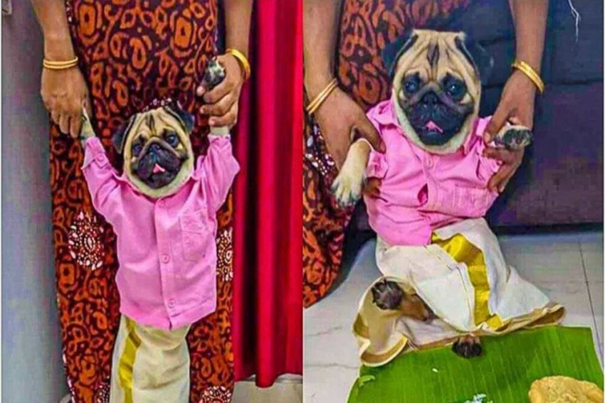 Watch: You Can Now Contact This Pug For Rishtas Because He Is All 'Groomed' Up