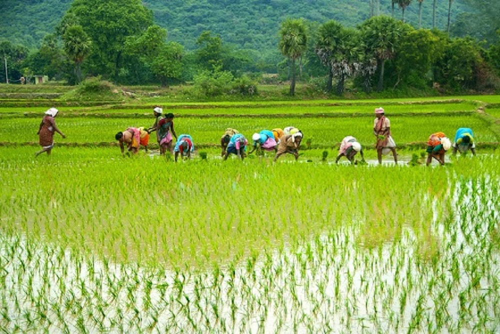 Paddy Procured Till Tuesday Registers Increase Of 20.28% Over Last Year