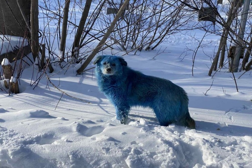 Pictures Of Blue-Coloured Dogs In Russia Go Viral