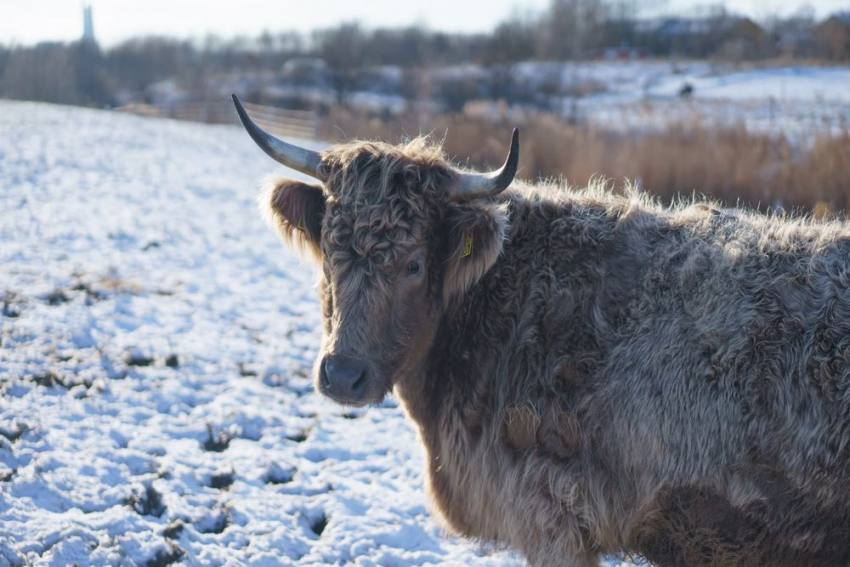 Brrr! Ears Of Calves Fall Off In Freezing Cold In The US