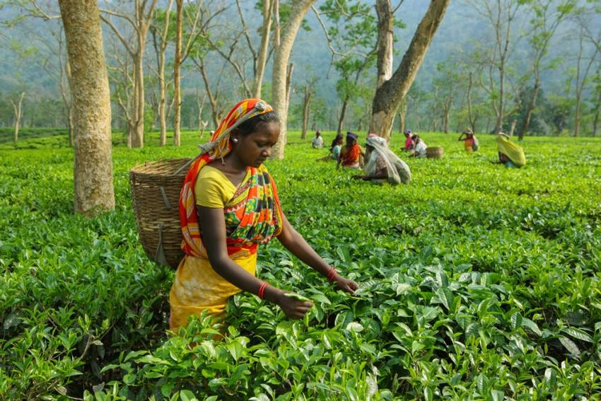 Assam Cabinet Approves Proposal To Increase Daily Wage Of Tea Garden Workers